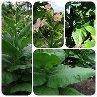 Burley Tabak Nicotiana tabacum Rauchtabak ideal für Zigarettenfeinschnitt