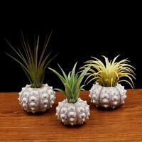 Tabletop Flower Holder Pot  Sea Urchin Planter Vase Miniature Garden Home Decors