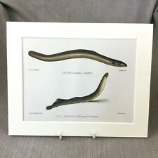 Lampern Eel Fish Antique Victorian Print Marine Art Fishing