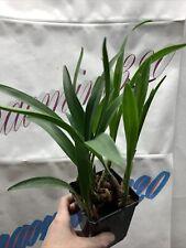 Eria hyacinthoides blooming size
