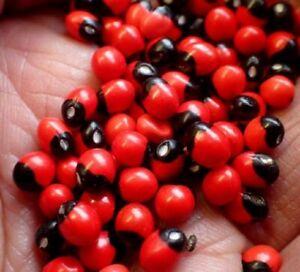 Natural Seeds Rosary Pea/Ratti/Jequirity Bean/Coral Beads Make Fashion Jewelry