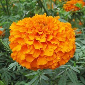 Nueva Semilla Marigold Flores Tagetes erecta 100 mezcla de semillas