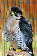 More details for lanner falcon falco biarmicus bird of prey portrait photograph picture print