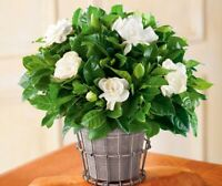 10 Seeds Gardenia jasminoides Flowers Trees Beautiful Bonsai Potted Plants Home