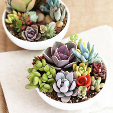 150pcs Mini Succulent Seeds Lithops Living Stones Plants Cactus Pot Garden Plant