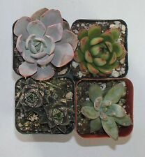 """New listing 4 Misc Succulent Collection 4 Rooted Specimens In 2"""" Pots And Soil"""