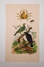 gravure 1838 histoire naturelle Guérin, Pirol-pise-pissode