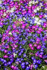 200 MIXED COLORS LOBELIA Erinus Flower Seeds *Combined S/H & Free Gift