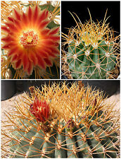 50 Samen der Ferocactus diguetii,Sukkulenten,seeds succulents G5