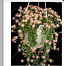 100pcs Fairy Peal Succulents Seeds Anti-Radiation,Imported Cactus Seeds Hybrid