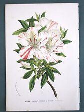 Azalea indica striata formosissima,Van Houtte,Flore,Color Lithograph,c.1850