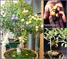 "SEEDS – RARE Bonsai Olive Tree ""Cailletier"" Patio Garden, Balcony or Balcony"