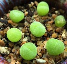 Conophytum pillansii, living stone, rare succulent, 10 seeds