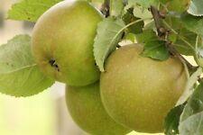 Apfelbaum  'Schöner aus Boskoop' 1 Jährige,  Spindel, auf M7, im Topf
