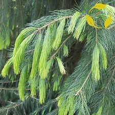 WEST HIMALAYAN SPRUCE Picea Morinda Smithiana - 15 SEEDS