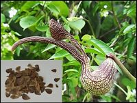 50 Seeds Aristolochia ringens Gaping Pipevine  Free shipping