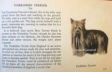 Yorkie Yorkshire Terrier Dog Rare Vintage Art Drawing Breed Description 1939