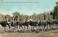 DB Postcard CA D555 Passing in Review Cawstons Ostrich Farm Pasadena Cancel 1909
