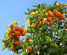 Orange Seeds Cold-hardy - Sweet Mandarin Orange Tree ( Citrus reticulata )20 pcs