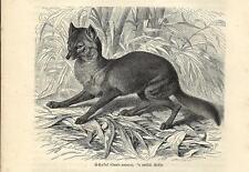 Stampa antica SCIACALLO DORATO Canis aureus 1891 Old antique print