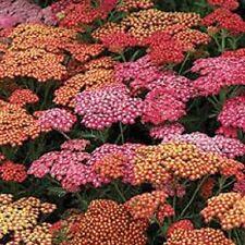 Achillea - Summer Berries - 25 Seeds