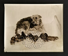 Historic Airedale Terrier Litter, Oorang stock, 1933 Photograph