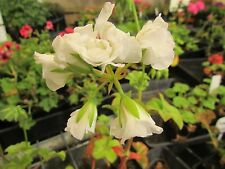 "GERANIUM PELARGONIUM  SNOW WHITE IVY PLANT $7      ""POSTAGE""ANY 3 PLANTS $8.00"