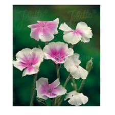 Lychnis coronaria 'Oculata' / Angels' Blush Rose Campion / 50 Seeds