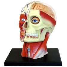 Human Head Skull Brain Anatomy Anatomical Model Medical Science Lab School Learn