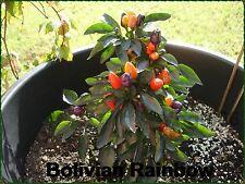 15 Bolivian Rainbow Chili Samen Zimmerpflanze bunt abreifend sehr dekorativ