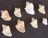 LOT Vintage Old Sea Shell Lot Like Conch From Very Old Estate
