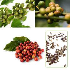 100 pcs Kaffeebohne Samen wunderbar einfach zu wachsen Heim Garten hervorragend