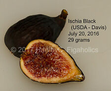 Ischia Black fig cuttings - Rare (USDA Davis Origin)