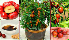 "SEEDS - We got it! RARE Compact Dwarf Jujube ""Ziziphus jujube""Chinese Date Shrub"