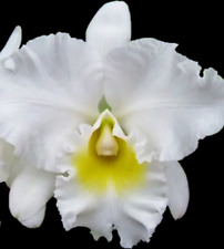 """Blc Ong Ty Ngo `Koko Head' Young plant in 3.5"""" pot"""