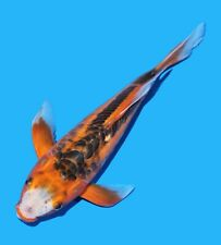 "Live Koi fish 11-12"" Red Shusui Butterfly Koibay"