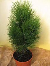 Säulenkiefer Pinus nigra Fastigiata Green Tower 40-50cm Nadelgehölz