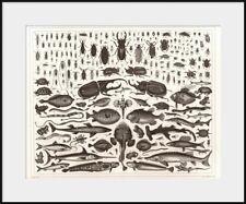 1850 Beetles and Fish Engraving, Coleoptera Chordata, New Fine Art Giclee Print