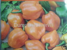 Habanero Pepper Orange 35 seeds Scotch Bonnet SUPER HOT Organic NON-GMO