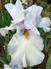 ~Quite Quaint~Gorgeous ruffled tall bearded iris rhizome rhizomes tuber bulb
