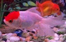 Red Cap Oranda Goldfish - Beautiful Fancy Redcap Goldfish - Live Fish