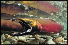 "Realfish Inland Series: "" Coho Salmon "" Fish Mat Floor Mat Doormat 24x36"