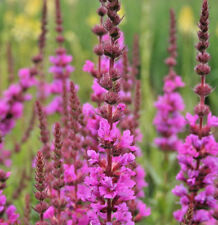 1x Lythrum salicaria Robin Pink Loosestrife Clay Salt tolerant damp ground plant