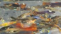 9 Mutt Guppies Pond Raised  Your choice of how many males or females you want