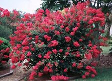 """Tonto Crape Myrtle Lagerstroemia indica Established Roots 2½"""" Potted - 3 Plants"""