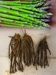 1-36 ASPARAGUS ARIANE CROWNS BARE ROOT PERENNIAL GRADE 1 COMMERCIAL QUALITY