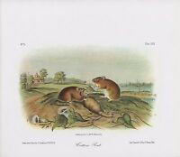 """1989 Vintage """"COTTON RAT"""" FABULOUS FARM SCENE AUDUBON MAMMAL COLOR Lithograph"""