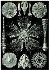 "ERNST HAECKEL CANVAS PRINT Art Nouveau Forms in Nature 36""X 24"" Echinidea"