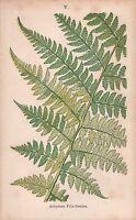 1875 Ca ANTIQUE BOTANICAL PRINT-FERNS-ATHYRIUM FILIX-FOEMINA
