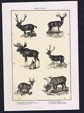 DEER - Cervidae   1901 Natural History Print
